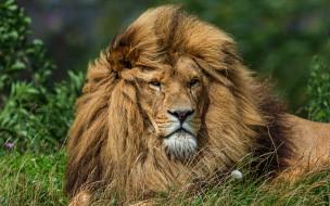 дикая природа, взгляд, грива, лев, фон, кошки, трава, одуванчик, морда, дикие кошки, портрет