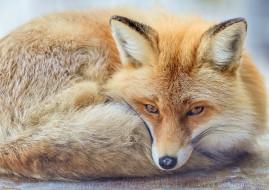 уши, взгляд, лиса, рыжая, морда