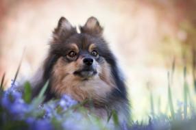 животные, собаки, шпиц, мордашка, боке, взгляд, цветы, портрет, собака