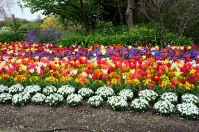 тюльпаны, примулы
