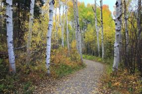 природа, лес, тропинка, листопад, березы, осень
