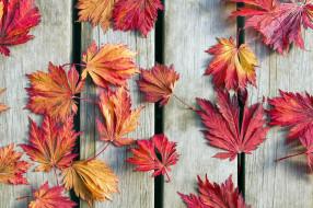природа, листья, осенние, кленовые