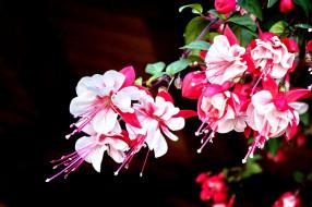 цветы, фуксия, бело-розовый