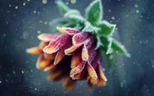 гербера, изморозь, цветок