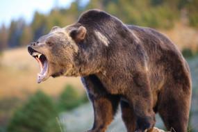 млекопитающее, бурый, зверь, Медведь, хищник, рычит