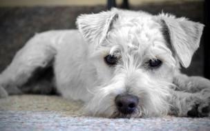 фокс-терьер, животные, собаки, close-up, cute, animals, puppy, крупный, план, милые, щенок, домашние, white, dog