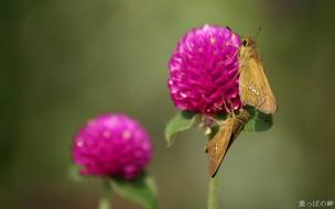 животные, бабочки,  мотыльки,  моли, розовый, клевер