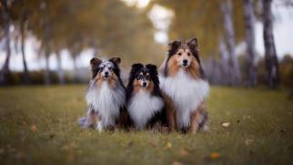 животные, собаки, шелти, трава, осень, листья, деревья