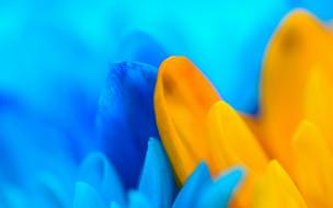 желтый, макро, лепестки, голубой