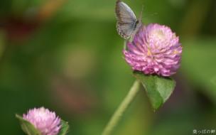 животные, бабочки,  мотыльки,  моли, розовый, клевер, бабочка