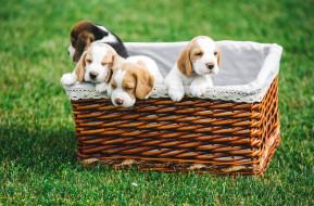 животные, собаки, бигль, корзина, щенки
