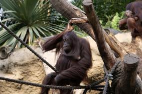 обезьяна, животные