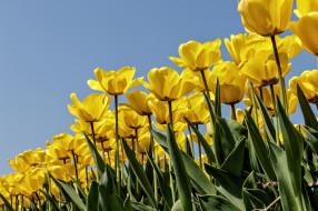 обои для рабочего стола 2048x1365 цветы, тюльпаны, бутоны, плантация, много