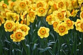Нарциссы, Желтый, Весна, Цветы, Цветение