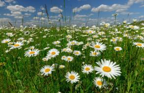 луг, цветы, Россия, ромашки