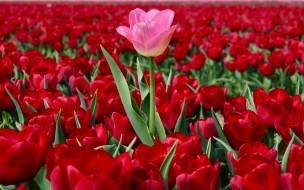 много, плантация, розовый тюльпан, тюльпаны