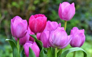 тюльпаны, фон, зеленый, цветы, листья, компания, розовые, бутоны, сад, весна