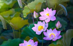 цветы, лотосы, бутоны