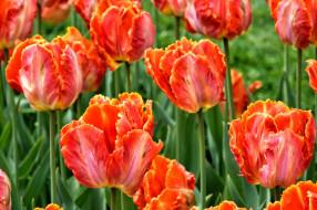 лепестки, луг, поле, тюльпаны