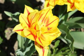 желтый, цветы, тюльпан