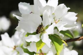 белый, кустарники, цветущие деревья, пчела, цветы