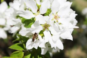 кустарники, цветущие деревья, цветы, пчела, белый