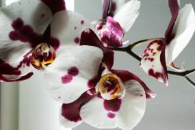 цветы, орхидея, фон