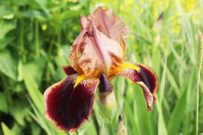 цветок, ирис, коричневый