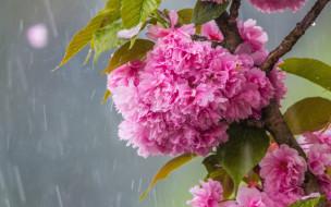 дождь, ветка сакуры, цветение весной