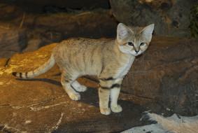 sand cat, животные, дикие кошки, киса