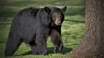 медведь, черный, хищник