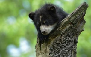 барибал, черный медведь, дикая природа, медвежонок