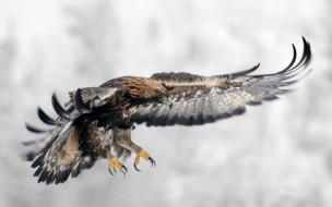 хищник, взмах, полет, крылья, клюв, глаза, перья, орел, хвост