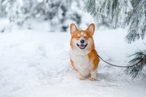 ветки, радость, настроение, собака-улыбака, Вельш-корги, улыбка, зима, снег, пёсик