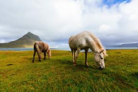 Исландия, исландские, горы, поле, лошади, кони, пасутся