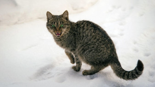 животные, коты, кот, кошка, серый, снег