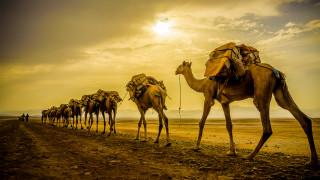 животные, верблюды, караван