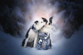 животные, собаки, пара, снег, две, бордер-колли, друзья, поцелуй, зима