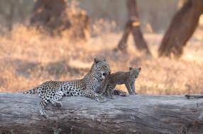 животные, леопарды, боке, бревно, африка, леопард, котёнок, lower, zambezi, national, park, детёныш, замбия