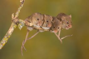 животные, кроты, мышки