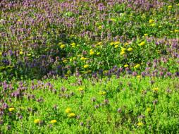 цветы, луговые , полевые,  цветы, луг