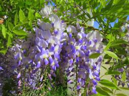 цветы, глициния, весна, 2018
