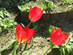 цветы, тюльпаны, весна, 2018