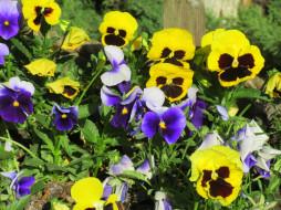 цветы, анютины глазки , садовые фиалки, весна, 2018