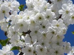 цветы, сакура,  вишня, весна, 2018