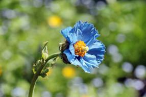цветы, маки, голубой, мак, лето, меконопсис