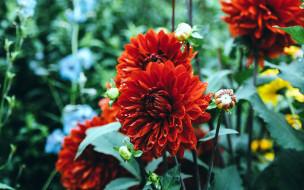 цветы, георгины, алый