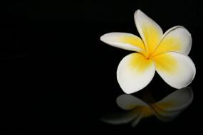 цветок, макро, черный фон, отражение, плюмерия
