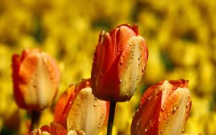желтые, много, цветы, капли, бутоны, яркие, фон, тюльпаны, сад, огненные, клумба, оранжевые, поле