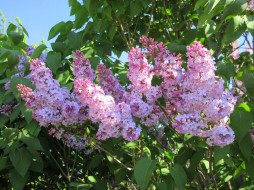 цветы, весна 2018